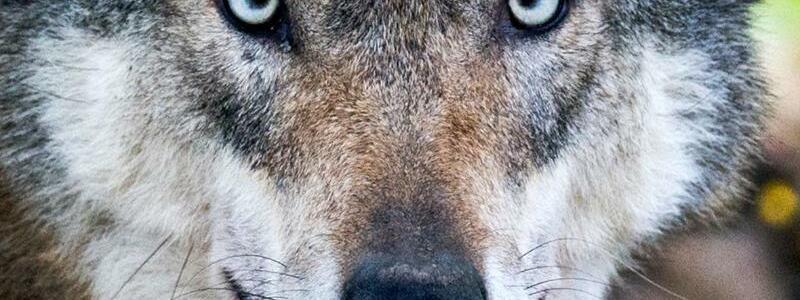 Wolf - Foto: Julian Stratenschulte/Symbol