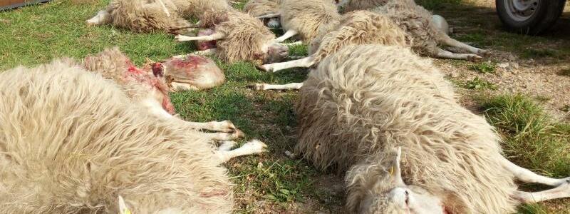 Tote Schafe in Sachsen - Foto: Benno Bilk