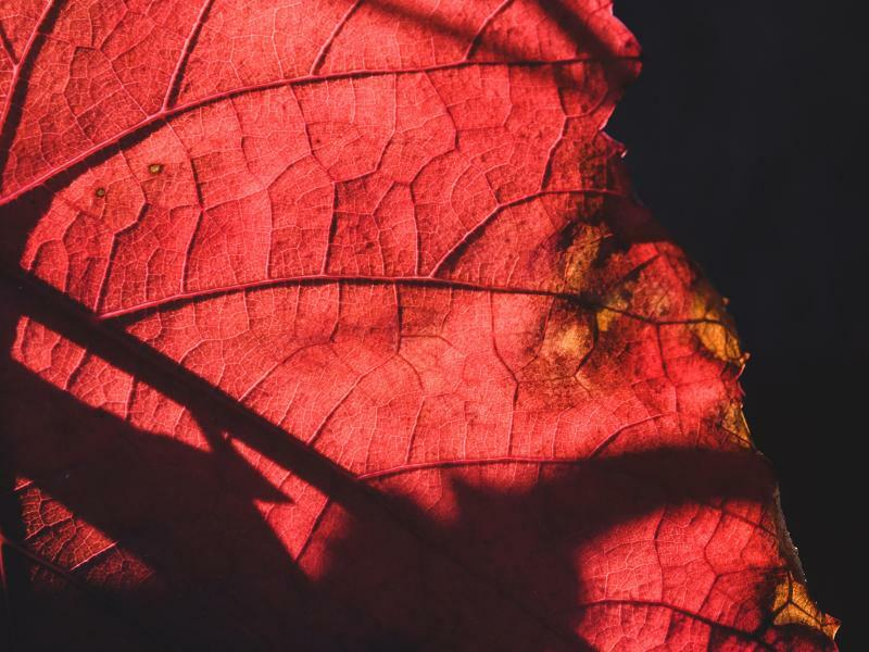 Herbstrot - Foto: Sebastian Gollnow