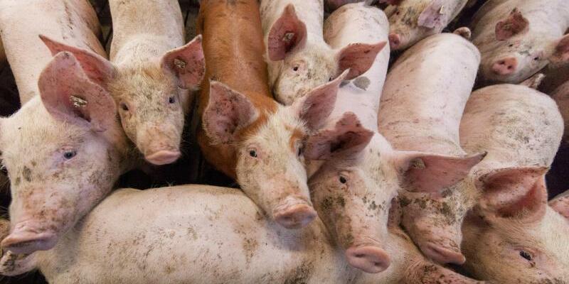 Schweinehaltung - Foto: Friso Gentsch