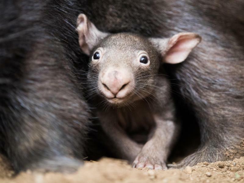 Wombat - Foto: Rolf Vennenbernd