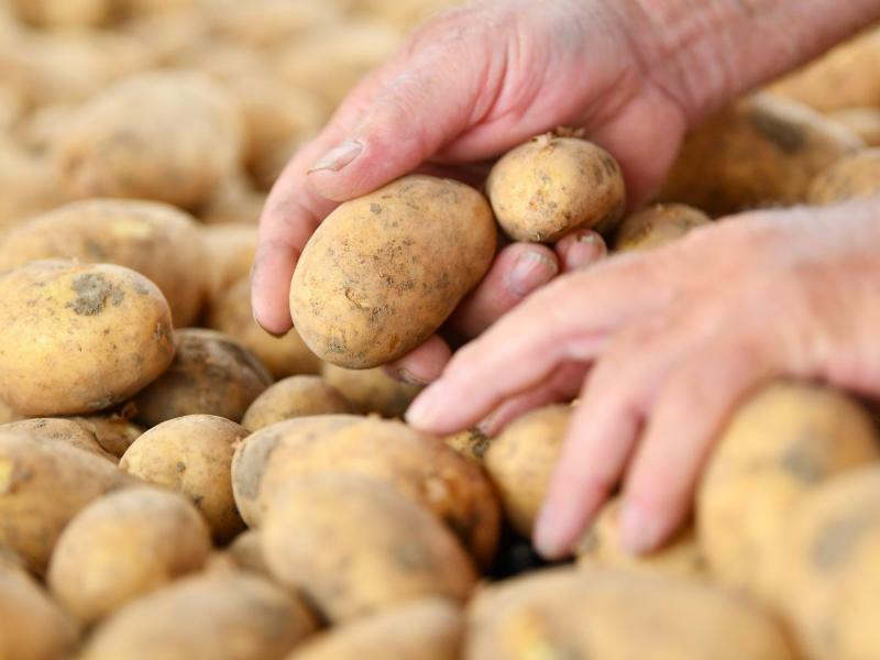 Kartoffelernte - Foto: Uwe Anspach