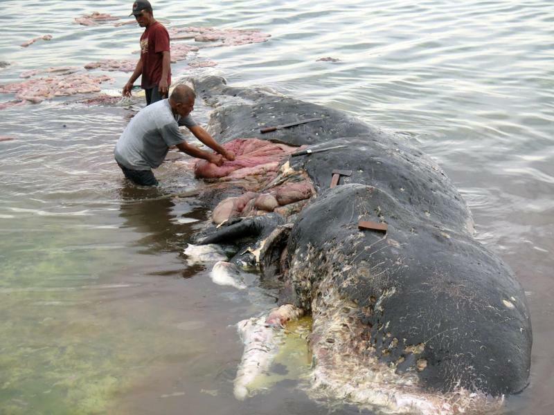Sechs Kilo Plastik im Bauch - Foto: Kartike Sumolang/WWF-Indonesia
