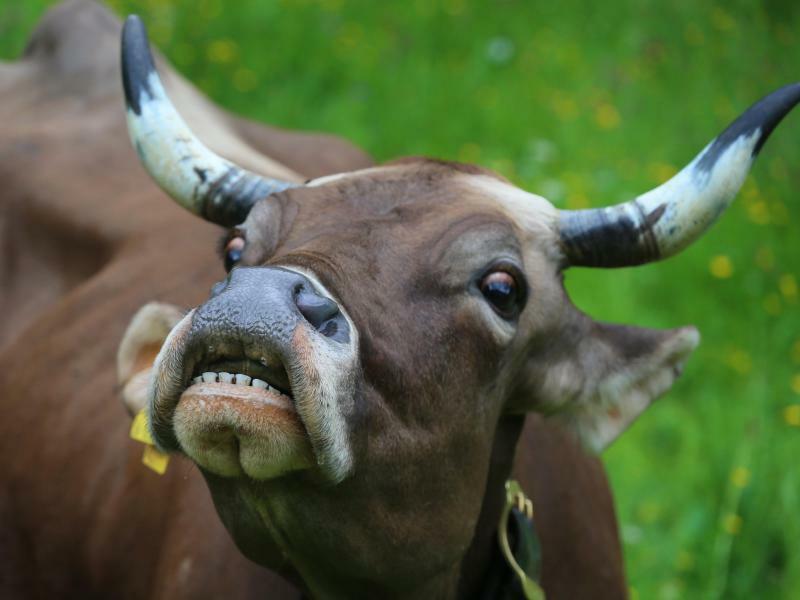 Kuh - Foto: Karl-Josef Hildenbrand