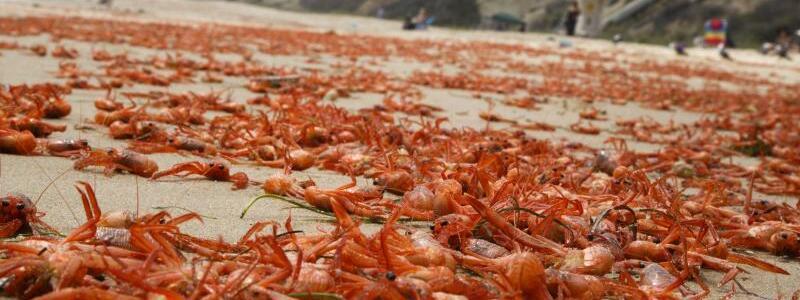 Hitzetod - Foto: Hitzetod:Tausende tote Kraben liegen an der kalifornischen Küste - die Meereserwärmung hat sie umgebracht. Foto:Eugene Garcia