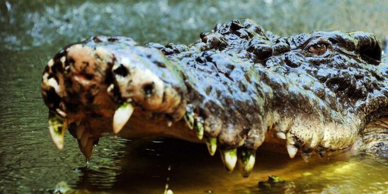 Salzwasserkrokodil - Foto: Ein Salzwasserkrokodil sperrt in Australien sein Maul auf. Auf den Philippinen soll ein 500 Kilogramm schweres Exemplar einen Fischer getötet haben. Foto:Brian Cassey/AAP/epa