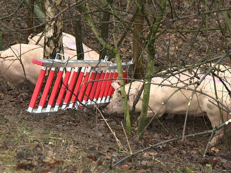 Schweine - Foto: Guido Schulmann