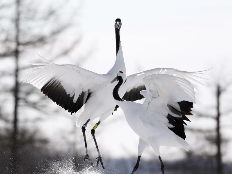 Tanz der Kraniche - Foto: kyodo