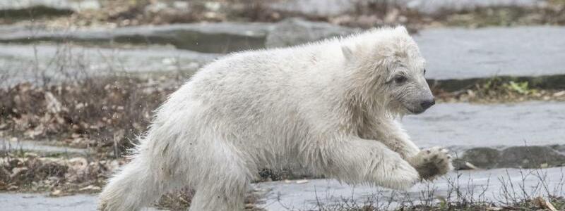 Eisbär-Nachwuchs - Foto: Paul Zinken
