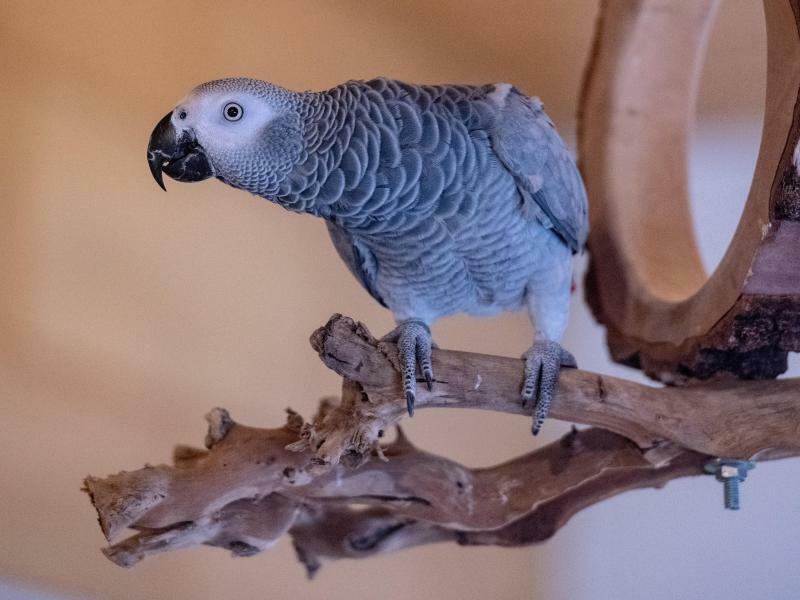 Papagei Carlo - Foto: Armin Weigel