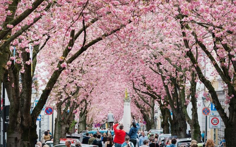 Kirschblüte in Bonn - Foto: Kevin Kurek