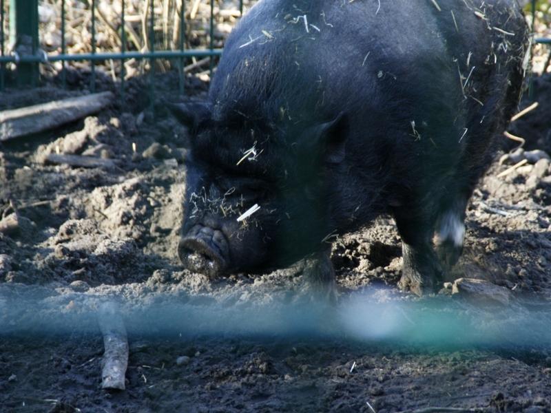Angler Sattelschwein - Foto: über dts Nachrichtenagentur