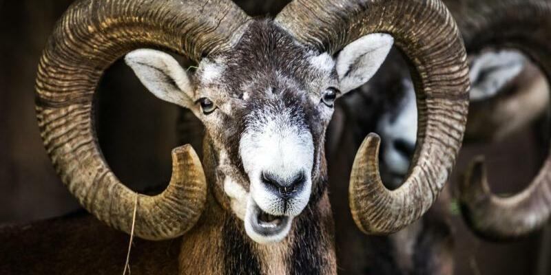 Mufflons - den Wildschafen droht das Aus - Foto: Frank Rumpenhorst