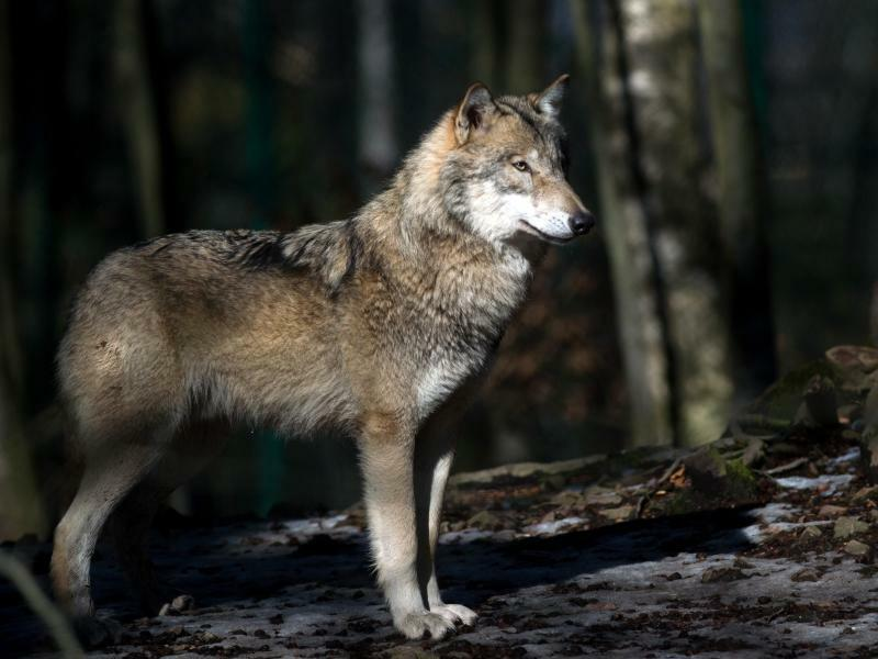 Wolf - Foto: Klaus-Dietmar Gabbert