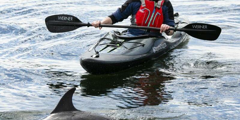 Erneut ist ein Delfin Gast in der Kieler Förde - Foto: Frank Molter