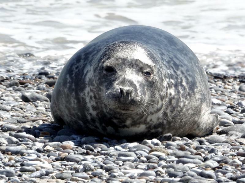 Robben auf Helgoland - Foto: Carsten Rehder
