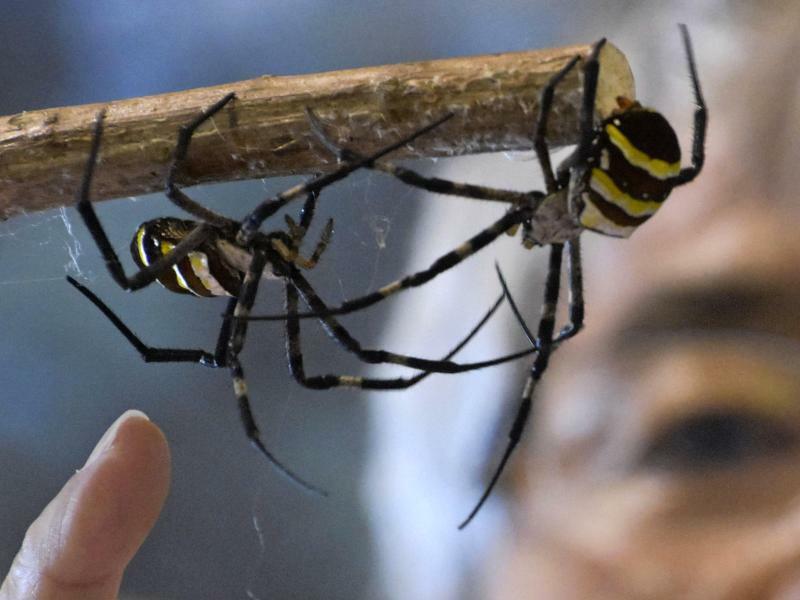 Spinnefeind - Foto: Zwei Spinnen stehen sich während des kumo gassen Spinnenkampfwettbewerbs in Japan gegenüber, eine Tradition aus dem späten 16. Jahrhundert. Foto:-/kyodo/dpa