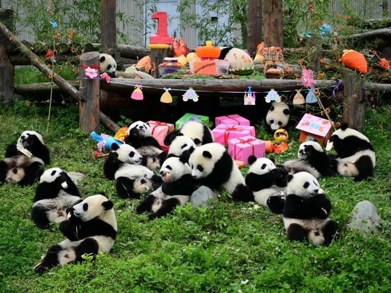 Panda-Party - Foto: XinHua