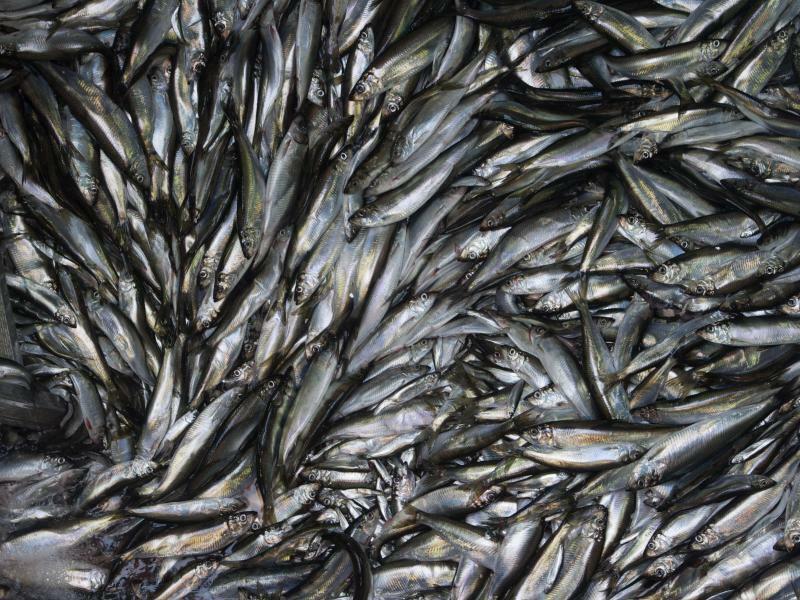 Fischfang - Foto: Stefan Sauer/zb/dpa