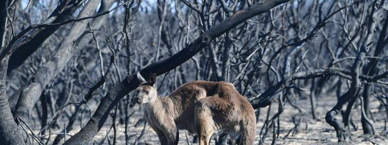 Buschbrände in Australien - Foto: David Mariuz/AAP/dpa