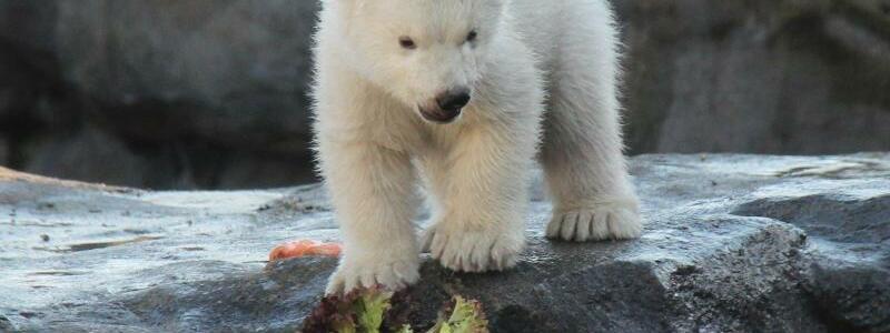 Eisbären-Jungtier im Wiener Zoo erstmals im Außengehege - Foto: Fabian Nitschmann/dpa