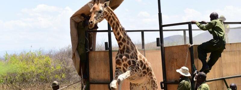 Neun Giraffen in Kenia umgesiedelt - Foto: Eckhartmedia/Northern Rangelands Trust/dpa