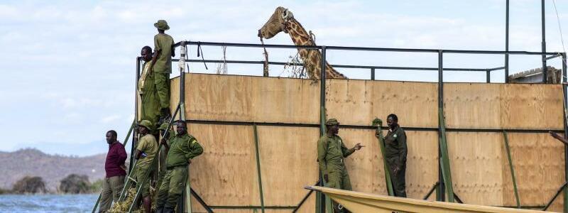 Umsiedlung von Giraffen in Kenia - Foto: -/Northern Rangelands Trust/AP/dpa