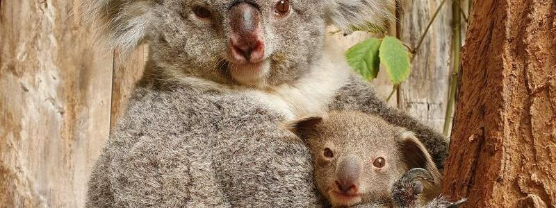 Baby-Koala in Duisburger Zoo - Foto: Zoo Duisburg/dpa
