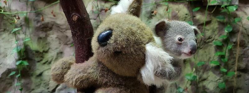 Baby-Koala in Duisburger Zoo - Foto: -/Zoo Duisburg/dpa