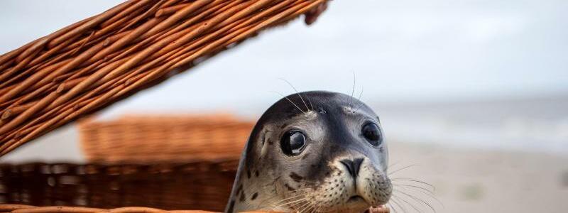Seehundstation Norddeich wildert erste Heuler der Saison aus - Foto: Sina Schuldt/dpa