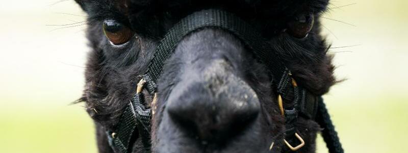 Alpaka ?Geronimo? - Foto: Jacob King/PA Wire/dpa