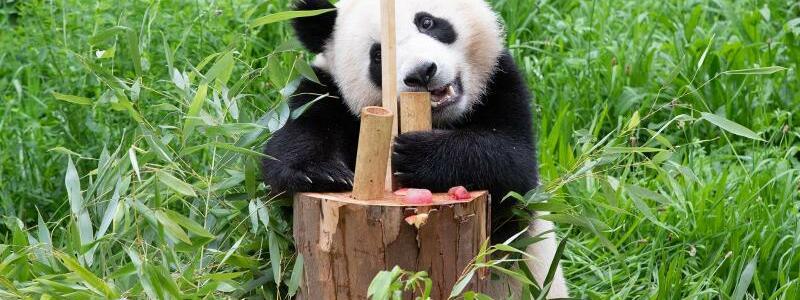 Panda-Zwillinge im Zoo Berlin - Foto: Paul Zinken/dpa