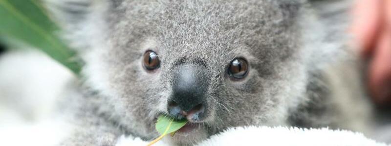 Koalas - Foto: Roland Weihrauch/dpa