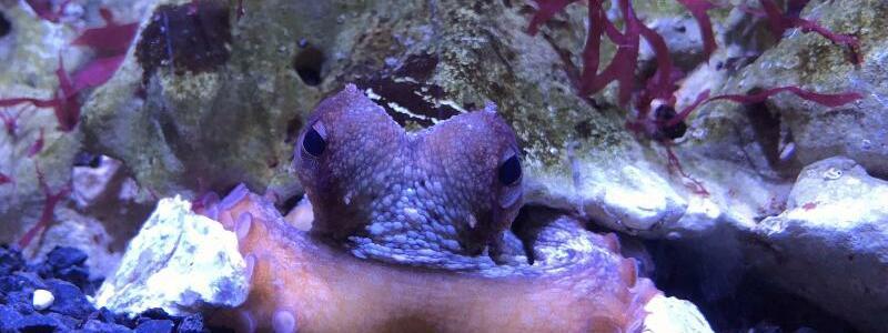 Octopus vulgaris - Foto: Daniel Abed-Navandi/Wiener Haus des Meeres/dpa
