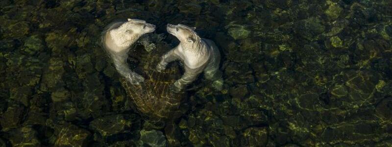 Eisb?ren - Foto: Martin Gregus//Wildlife Photographer of the Year/PA Media /dpa